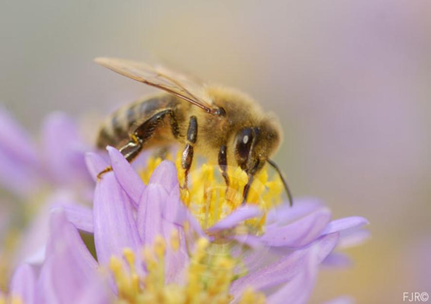 abeilles2 FJR